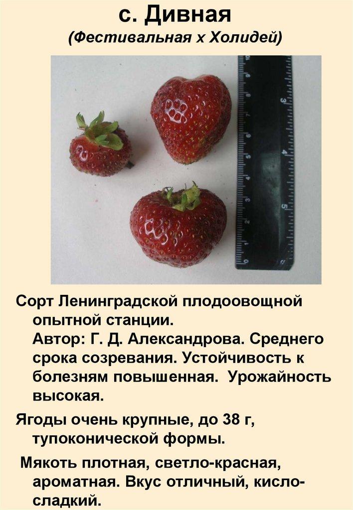Земляника холидей: описание сорта, фото и отзывы садоводов, характеристика плодов, достоинства и недостатки
