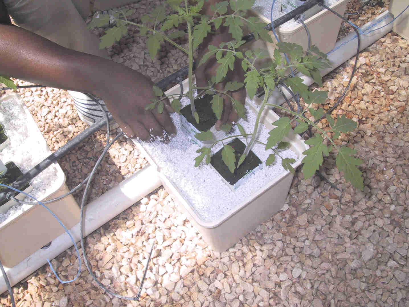 Как вырастить помидоры на гидропонике?