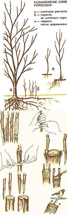 Размножение сливы корневой порослью: будет ли плодоносить, посадка и уход