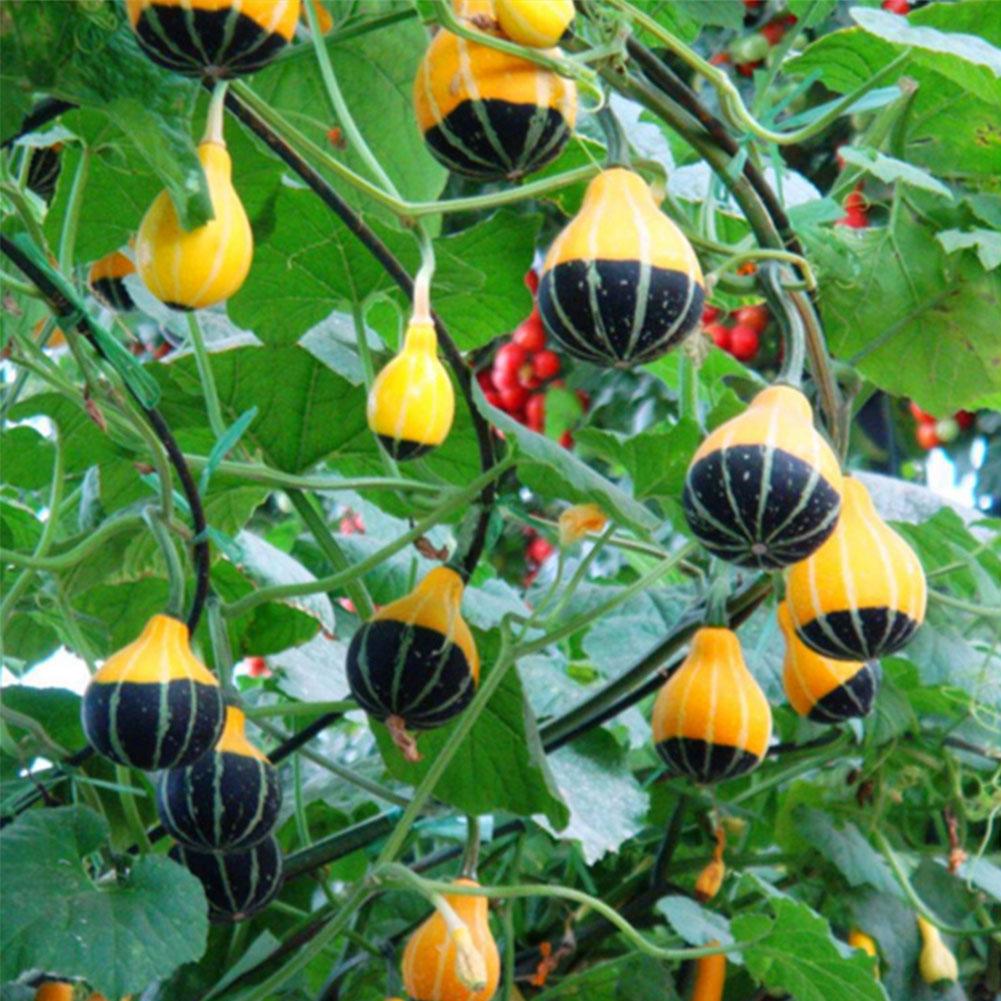 Тыква крупноплодная: описание 20 лучших сортов и характеристика, выращивание и уход с фото