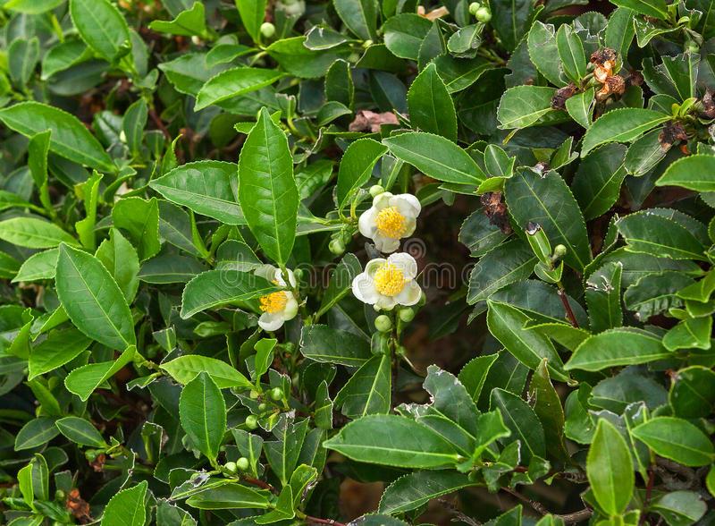 Камелия китайская 17 фото описание и выращивание из семян чайного куста в домашних условиях