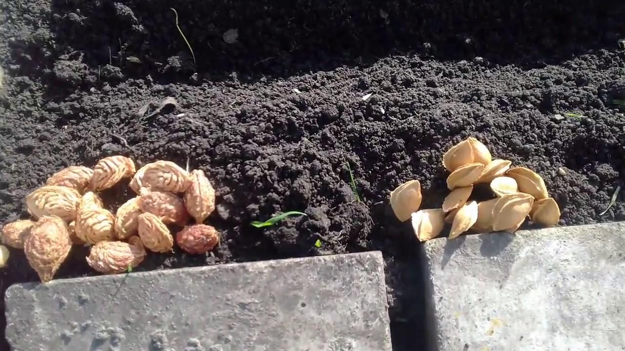 Как вырастить абрикос из косточки: можно ли, посадка и уход на даче, размножение