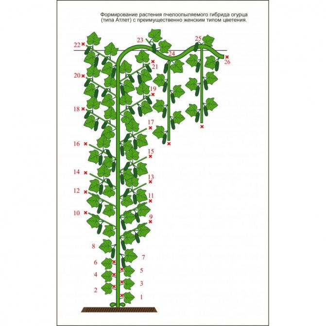 Как формировать огурцы в теплице и открытом грунте
