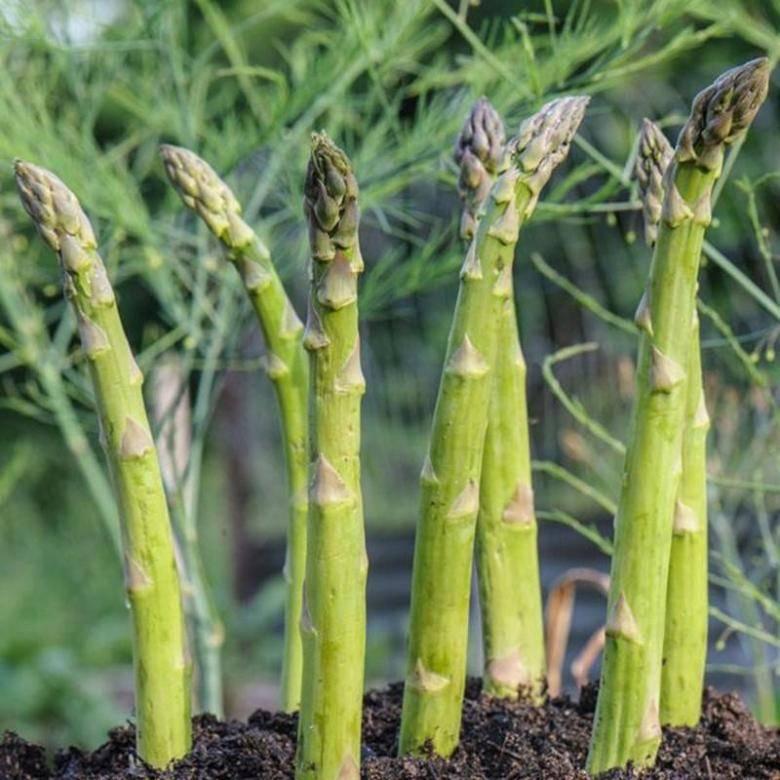 Как растет спаржа и что это за растение?