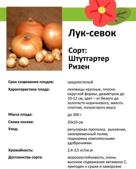 Лук штутгартер ризен: описание сорта, посадка и уход, выращивание в теплице + фото