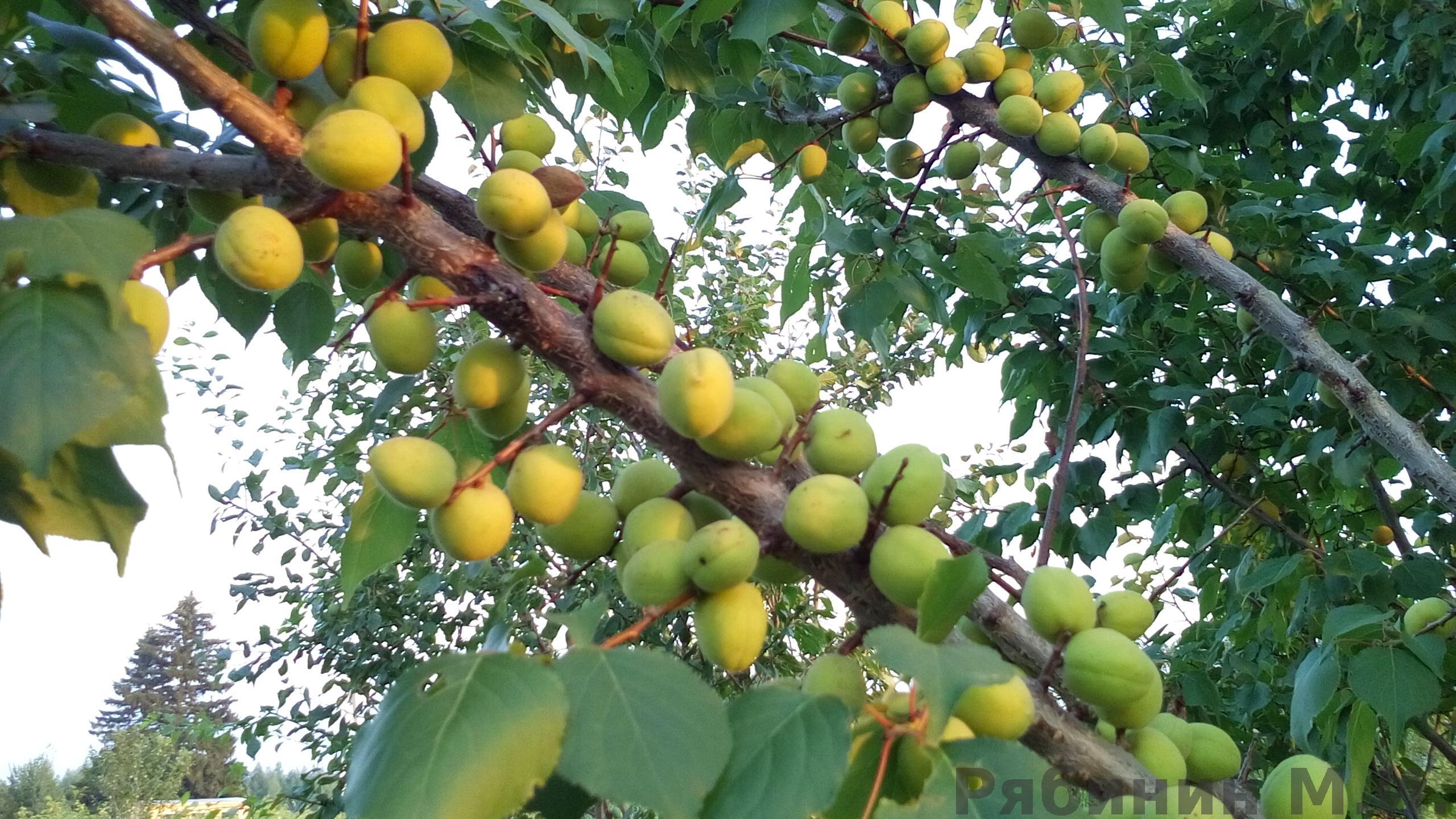 Почему слива сбрасывает зеленые плоды до созревания