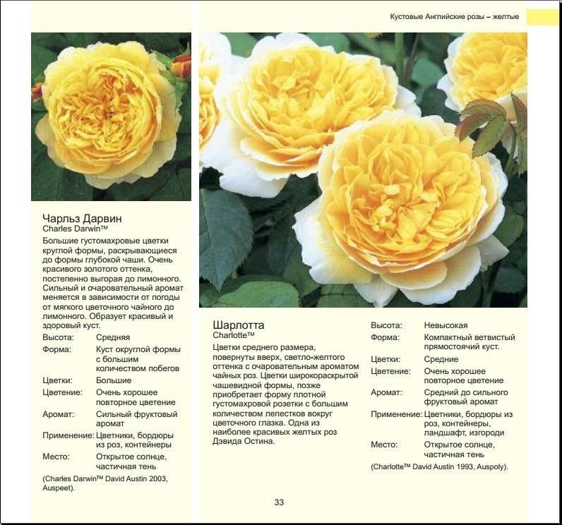 Фото и описание лучших сортов роз