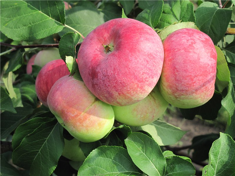 Сорт яблок «анис»: характеристика, виды, агротехника выращивания