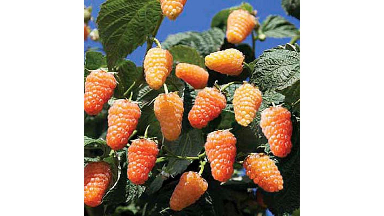 Малина оранжевое чудо: описание сорта, отзывы, правила и сроки посадки