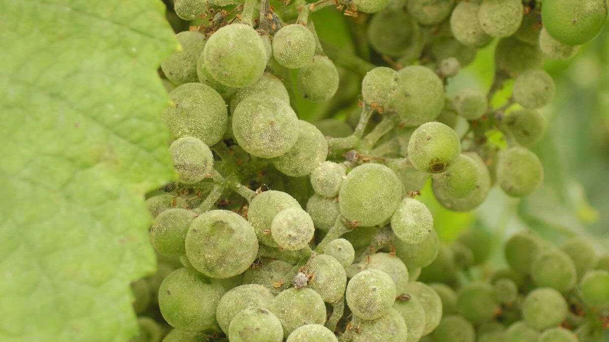 Чем лечить виноград от милдью, лучшие меры борьбы и правила обработки