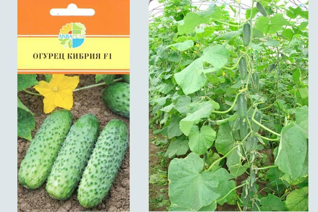 Огурцы кристина f1: характеристика, правила выращивания, советы садоводов
