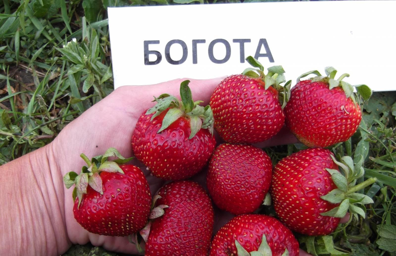 33 лучших сорта клубники: описание | фото +отзывы садоводов