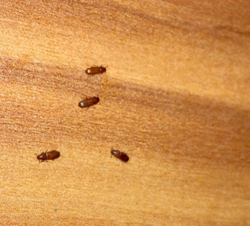 Чешуйница в квартире и ванной: как избавиться навсегда