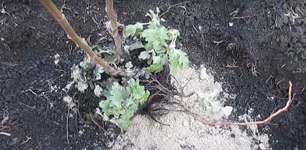 Пересадка хризантем осенью на другое место: правила и сроки для открытого грунта