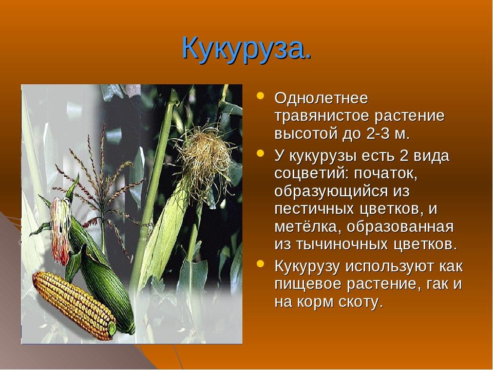 Кукуруза – полезные свойства, состав и противопоказания