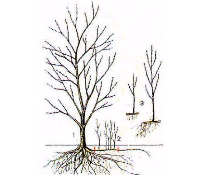 Как размножить сливу порослью: можно ли вырастить сливу из поросли, посадка и уход