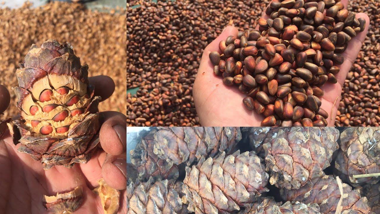 Как вырастить кедр из кедрового орешка в домашних условиях
