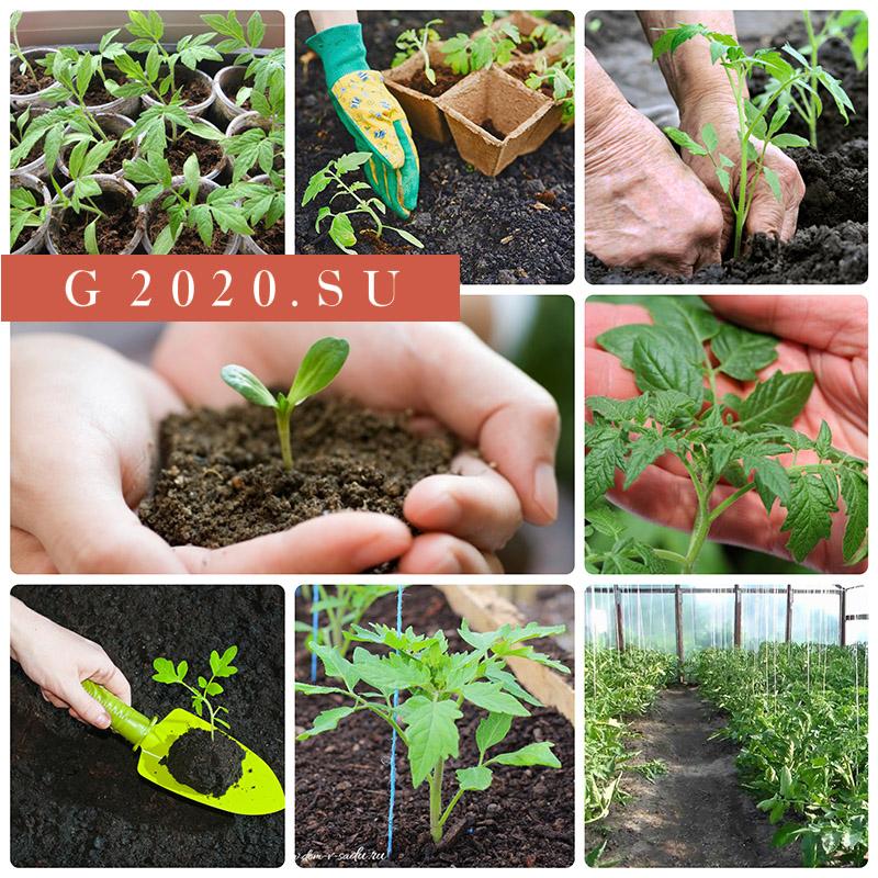 Когда сажать помидоры на рассаду в 2021 году в средней полосе