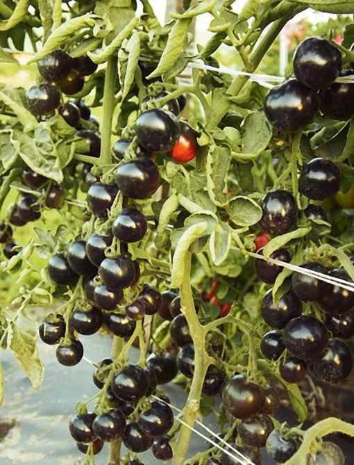 Томат черная гроздь: описание, выращивание, уход, фото