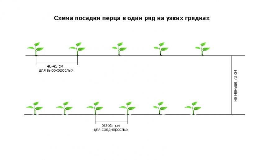 Правила и сроки пересадки рассады капусты в открытый грунт