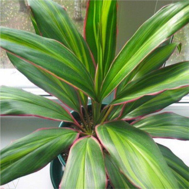 Уход в домашних условиях  за ложной пальмой — кордилиной