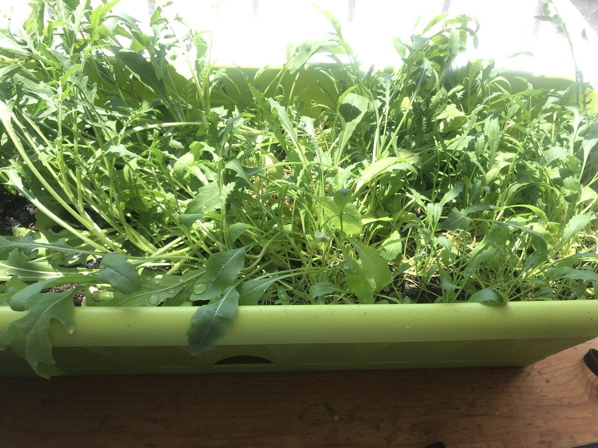 Как вырастить рукколу дома на подоконнике - мы дачники