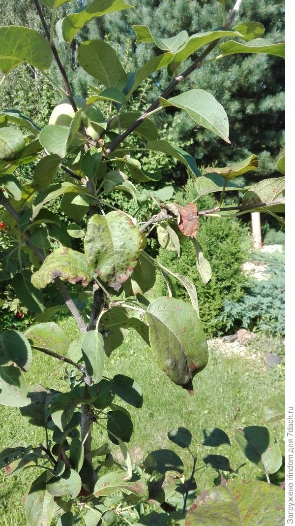 Монилиоз яблони: причины и лечение