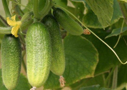 Огурец кураж f1 – описание сорта, отзывы, фото, посадка и выращивание – 4 сезона огородника