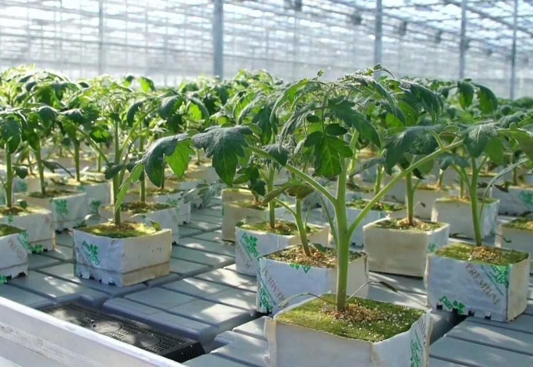Помидоры на гидропонике: выращивание, раствор и лучшие сорта