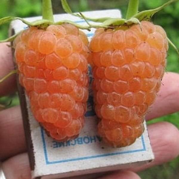 Малина оранжевое чудо ремонтантная уход и обрезка