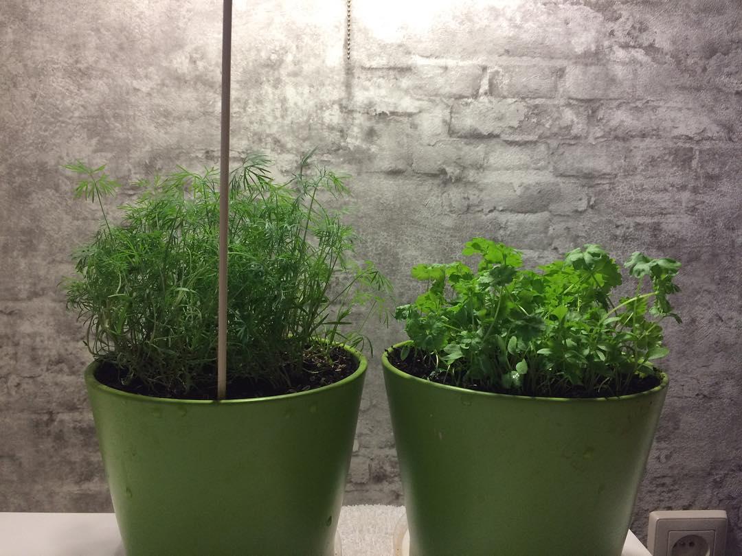Укроп на подоконнике: выращивание из семян в квартире или на балконе, посадка и уход в домашних условиях весной и зимой, когда всходит рассада