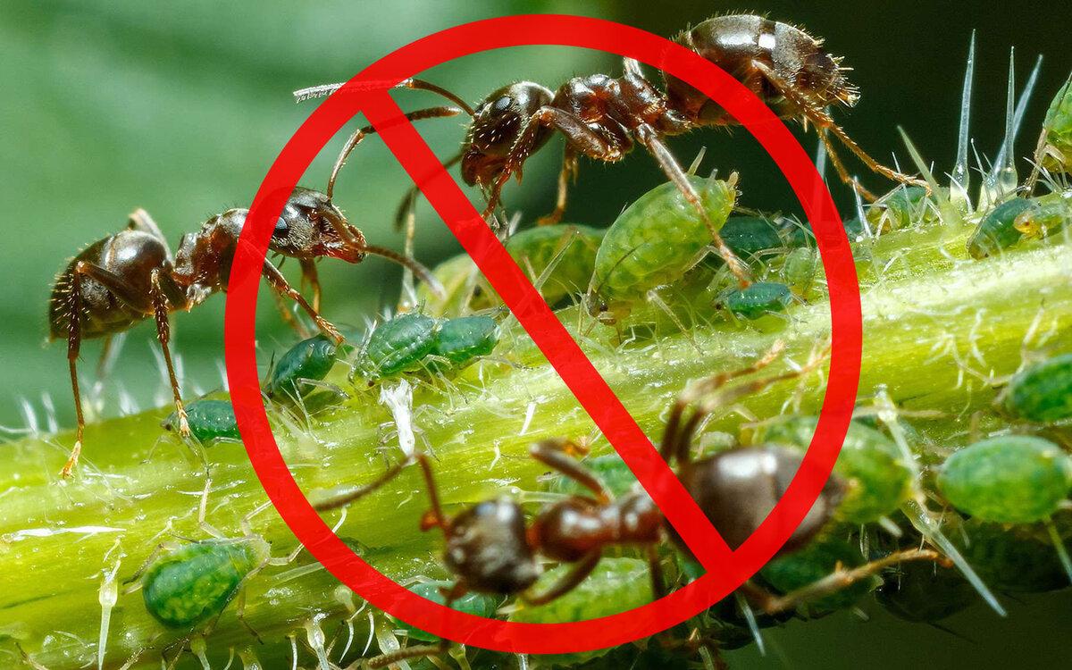 Муравьи едят капусту: что делать, чтобы избавиться от них