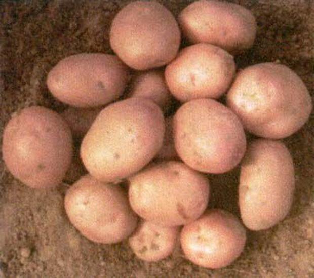 Картофель снегирь – один из лучших видов скороспелых сортов