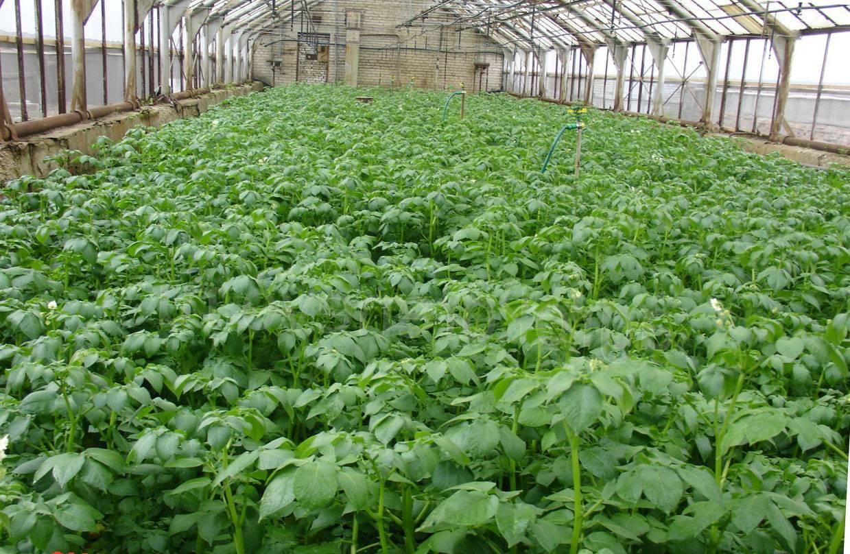 Выращивание картофеля от посадки до урожая – 9 шагов к большим результатам – 4 сезона огородника