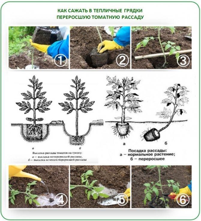 Посадка семян помидоров на рассаду: когда сажать, сроки способы, пошаговая инструкция особенности выращивания, уход и высадка в открытый грунт