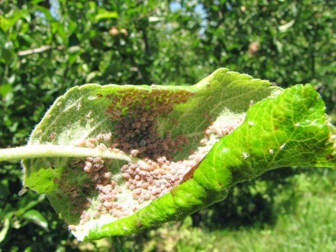 Вредители яблони и борьба с ними, болезни яблонь