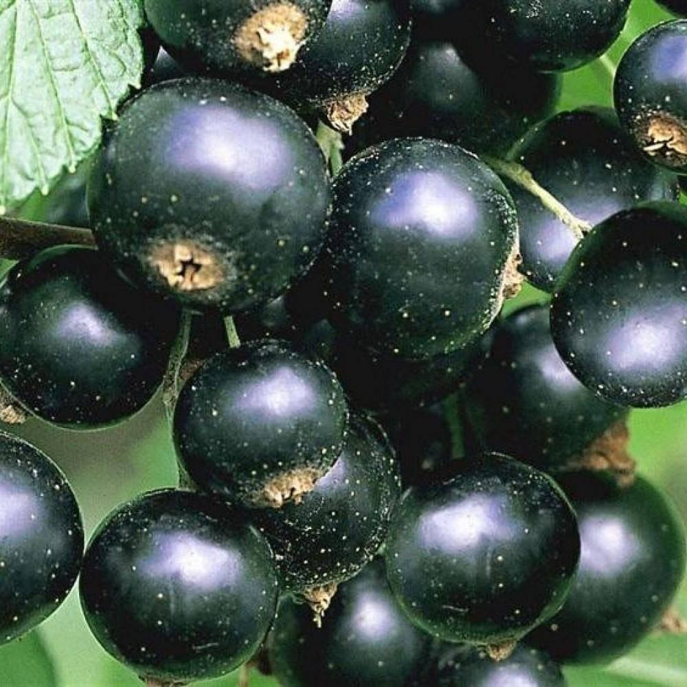 Черная смородина пигмей: описание сорта, особенности выращивания