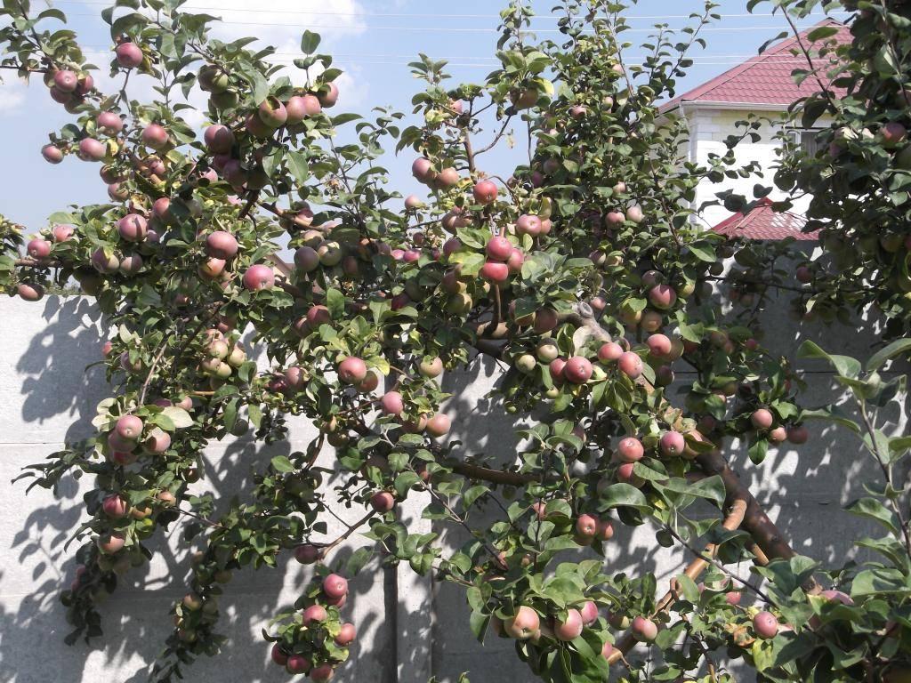Описание сорта яблони лобо: фото и отзывы, посадка и уход