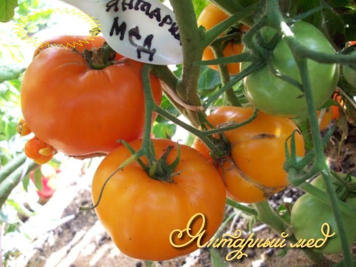 Томат алтайский мед - характеристика и описание сорта, фото, урожайность, отзывы огородников, видео