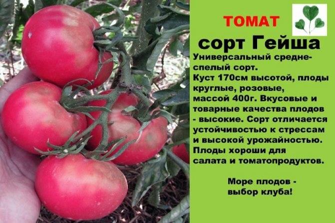 Томат катюша f1: описание сорта, фото, отзыв, урожайность