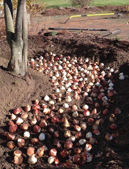 Удобрение для тюльпанов осенью: как правильно подобрать, если цветы идут на продажу