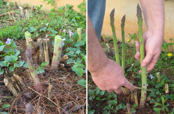 Выращивание и уход за ревенем в открытом грунте, как посадить и размножить