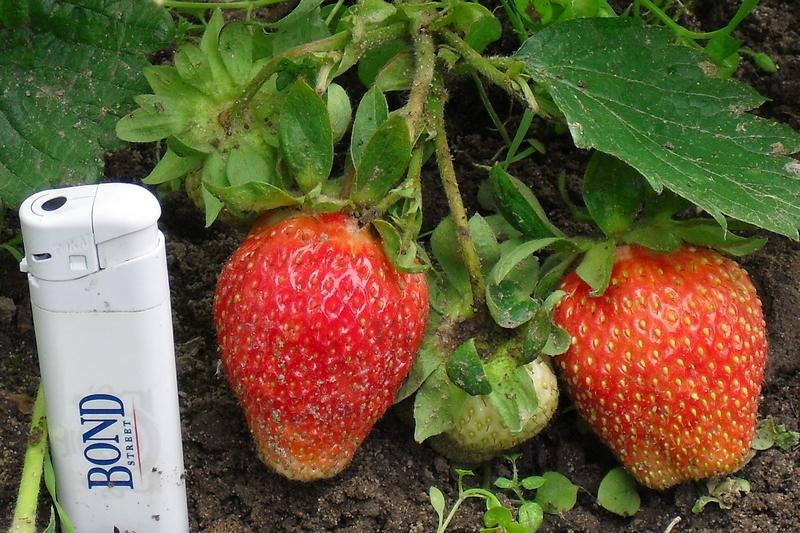 Клубника гигантелла - удивительный сорт крупной ягоды