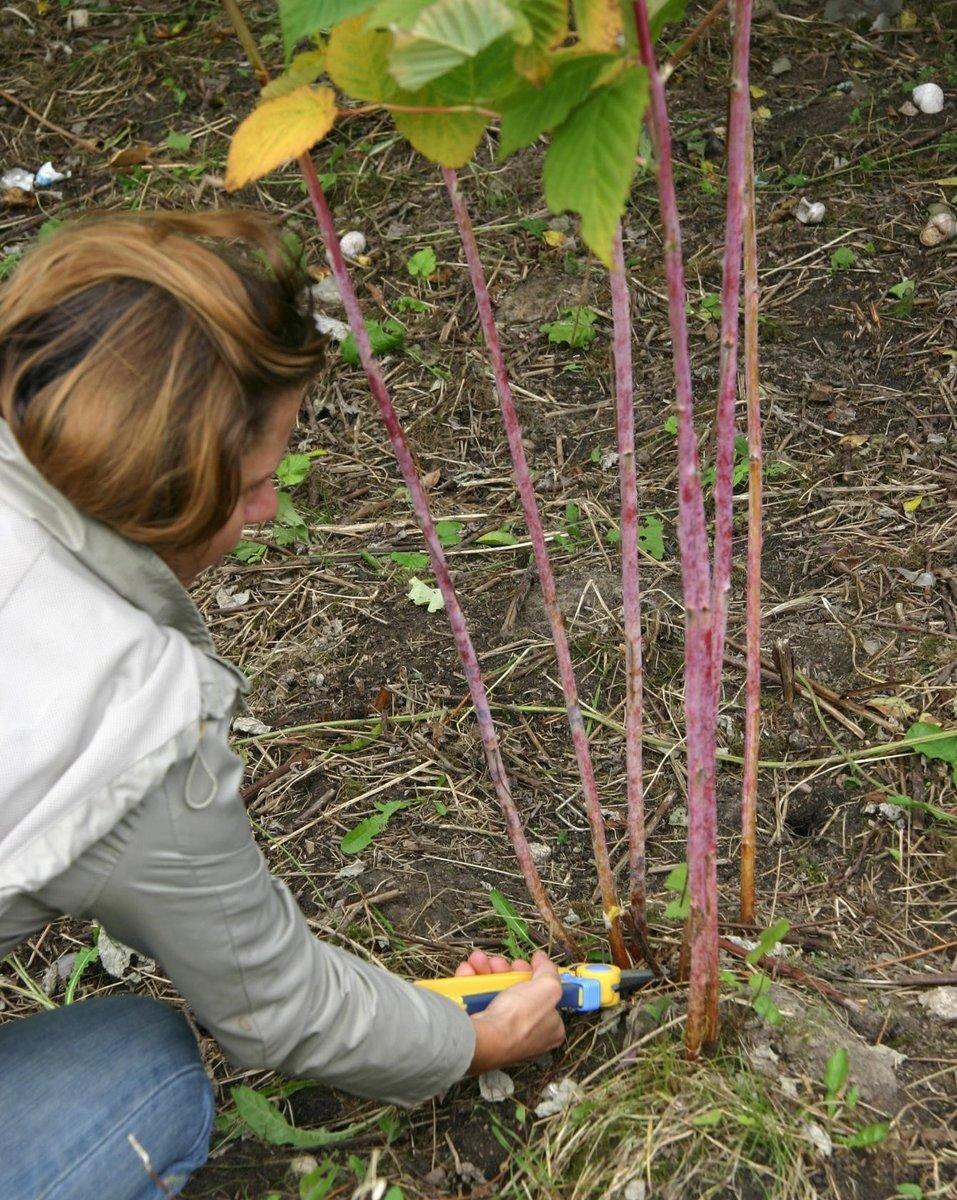 Весенний уход за малиной: правильные сроки работ, обрезка, подвязка