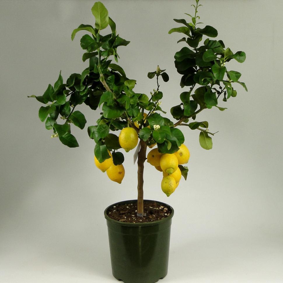 Павловский лимон: уход в домашних условиях, описание сорта павлова, история, способы размножения, формирование, как ухаживать, фото