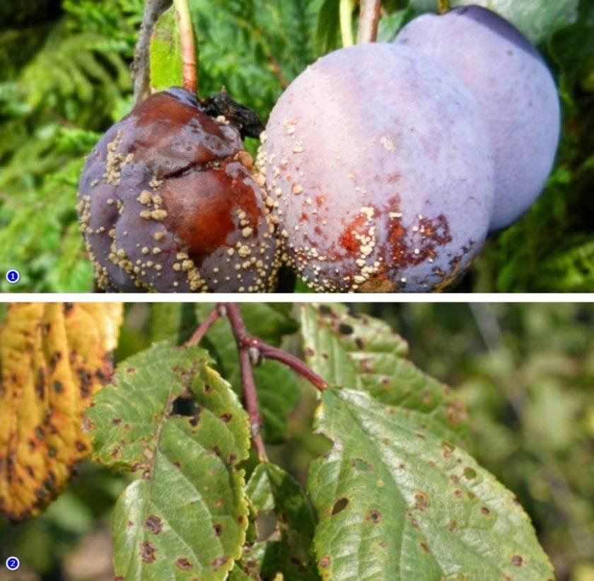 Монилиоз вишни: симптомы болезни и способы лечения косточковых деревьев