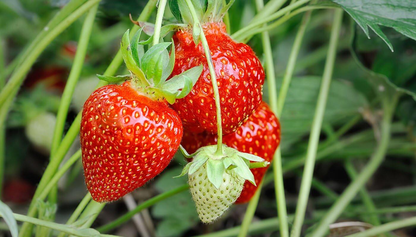 О сорте клубники ламбада: описание, агротехника выращивания, как ухаживать