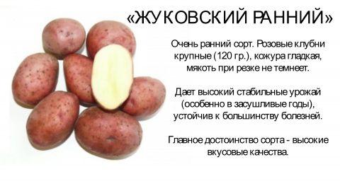 Характеристика сорта картофеля вектор. пошаговая инструкция выращивания, советы огородникам и фото корнеплода