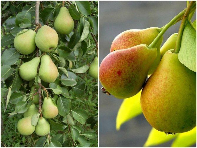 Азиатские груши или нэши. описание растений, наиболее популярные сорта азиатских груш. основные характеристики плодов