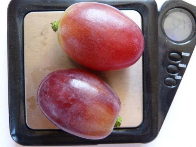 Сорт винограда шардоне: описание и характеристика, посадка и уход, размножение